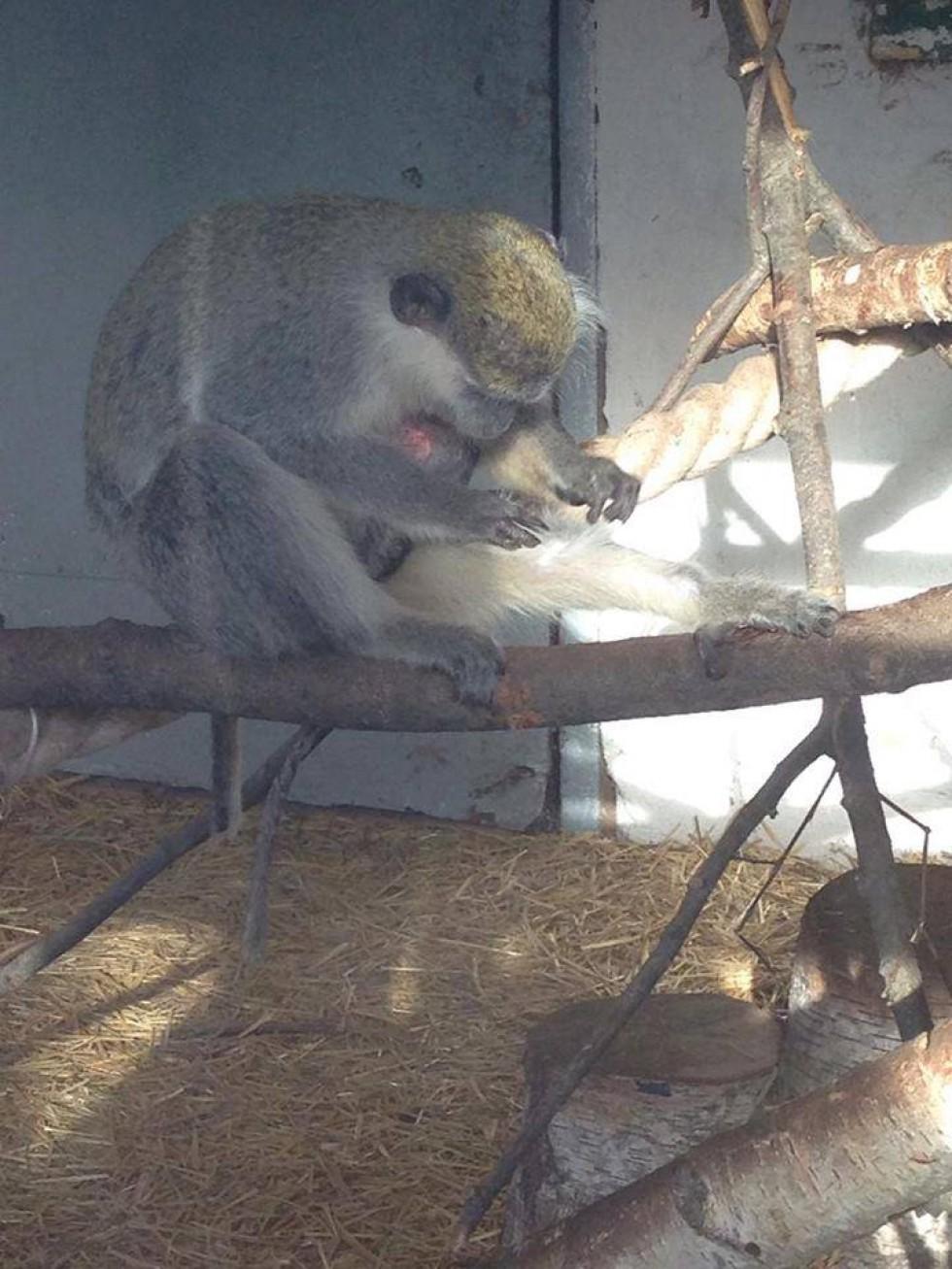 Так тішилися мавпочки своєму першому дитинчаті