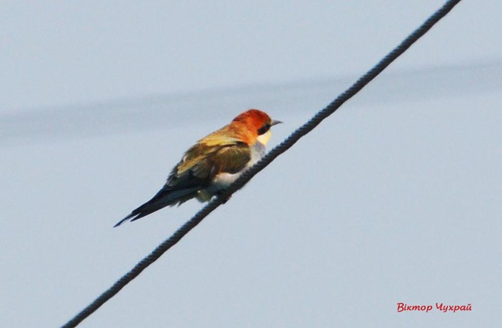 Помітити невеличку пташечку дуже непросто, навіть попри те, що вона кольорова