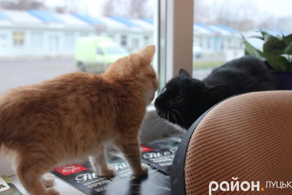 Бешкетник не дає спокою дорослим котам і людям