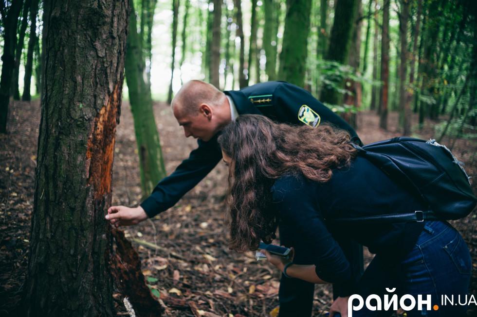 Дерево, пошкоджене короїдом
