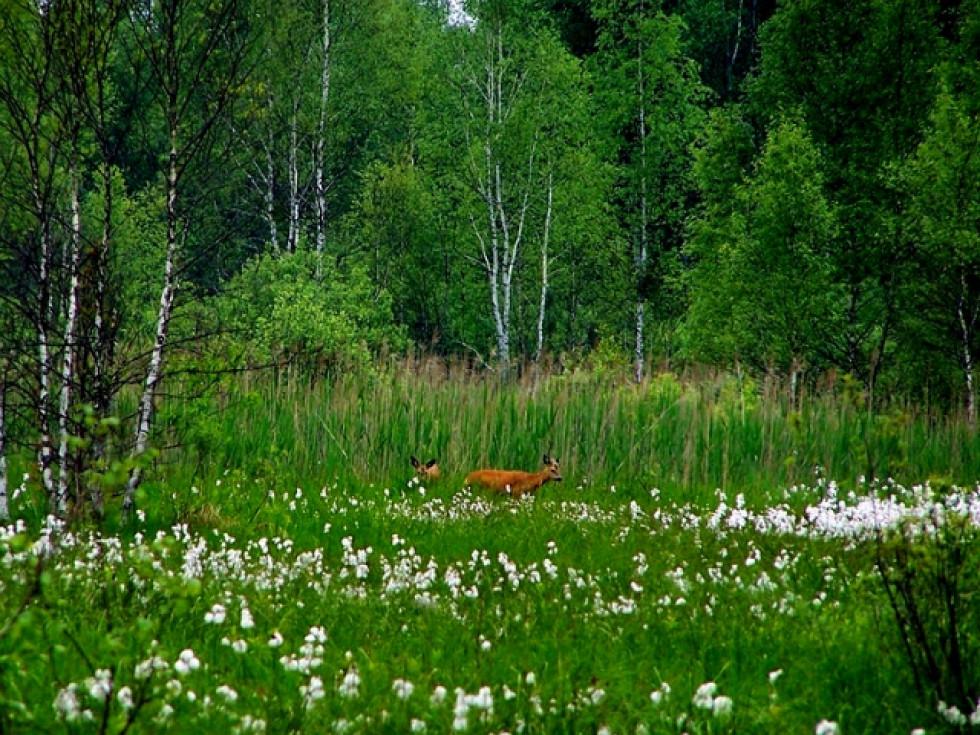 Плямистий олень у Шацькому національному природному парку