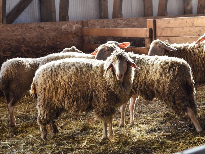 На фермах для овець особливих умов не потрібно: повітря, чиста вода