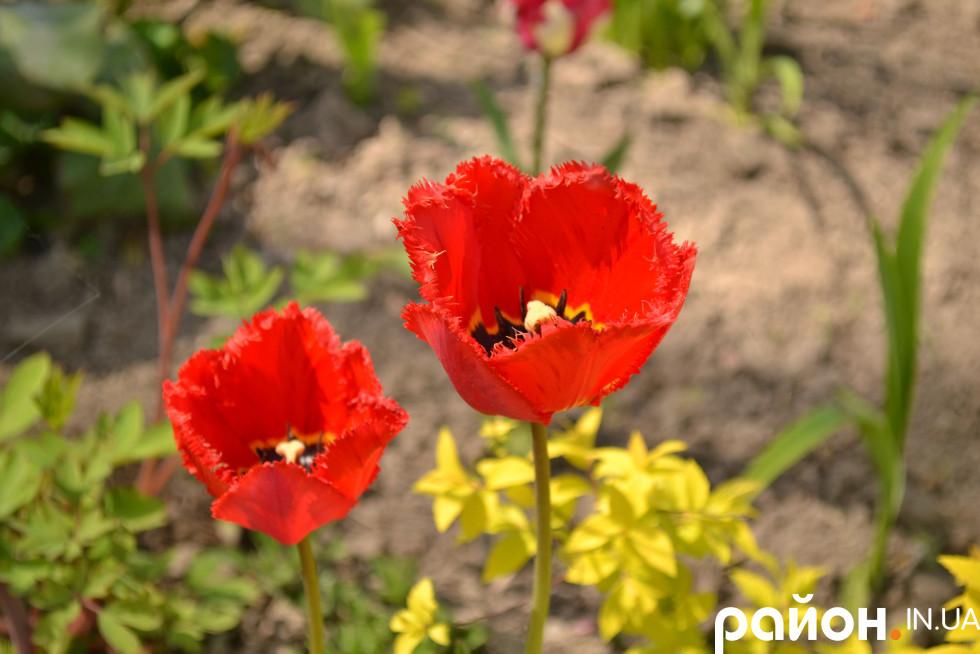 Сезон тюльпанів у луцькому зоопарку